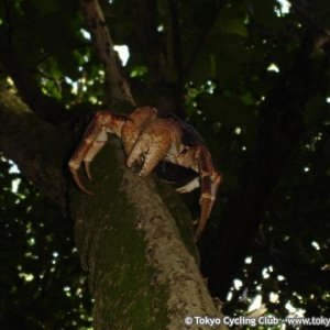 "Diego Garcia ride pictures ""Coconut Crab"""