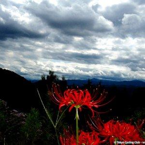 Higanbana amaryllis near the summit of Kaoburi-toge