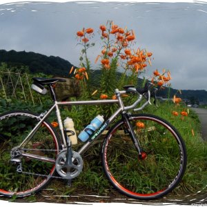 Oni-yuri tiger lilies on the morning of Tour de West Side