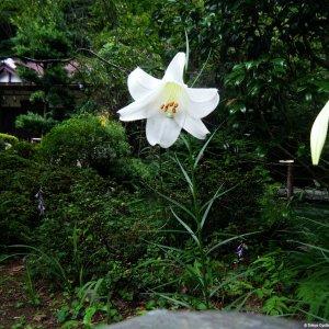 yamayuri lily