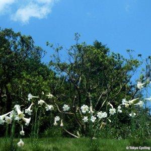 Cluster of yamayuri lilies