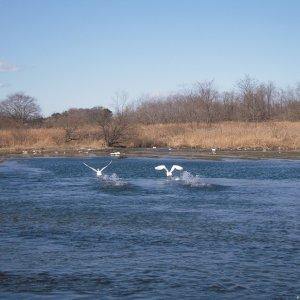 Swan at Arakawa river