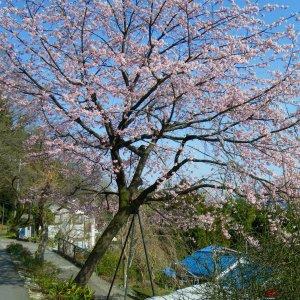 Early sakura on the south-facing flanks of Lake Tsukui