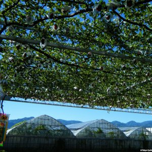 grapes overhead at Katsunuma