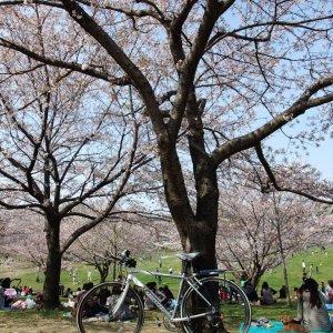 last hanami in Kyushu